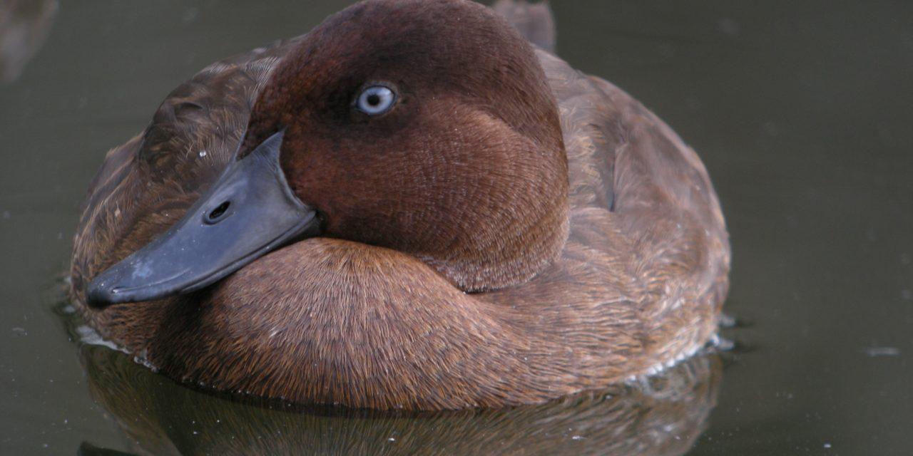 Új élőhelyet kapott a világ legritkább madárfaja