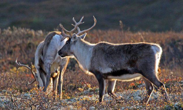 Norvégia nem lesz tekintettel a rénszarvasokra