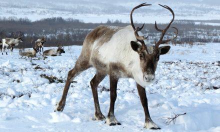 Rudolf a rénszarvas valójában lány