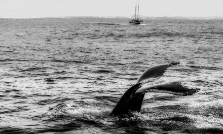 Japán fokozza a bálnagyilkolást