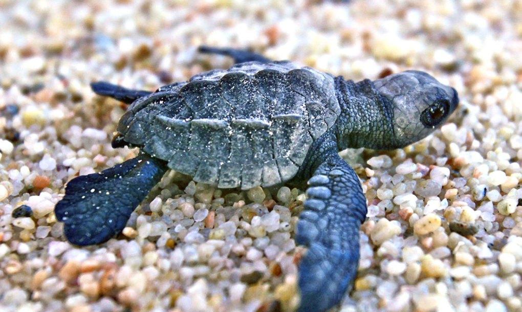 Húsz év után visszafoglalták a teknősök Mumbai partjait