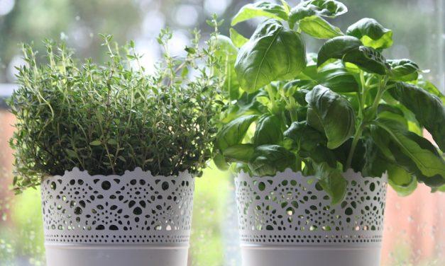 Így teleltesd a fűszernövényeidet