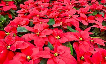 Ha nincs kedved fát díszíteni, idén legyen mikulásvirágból a karácsonyfád