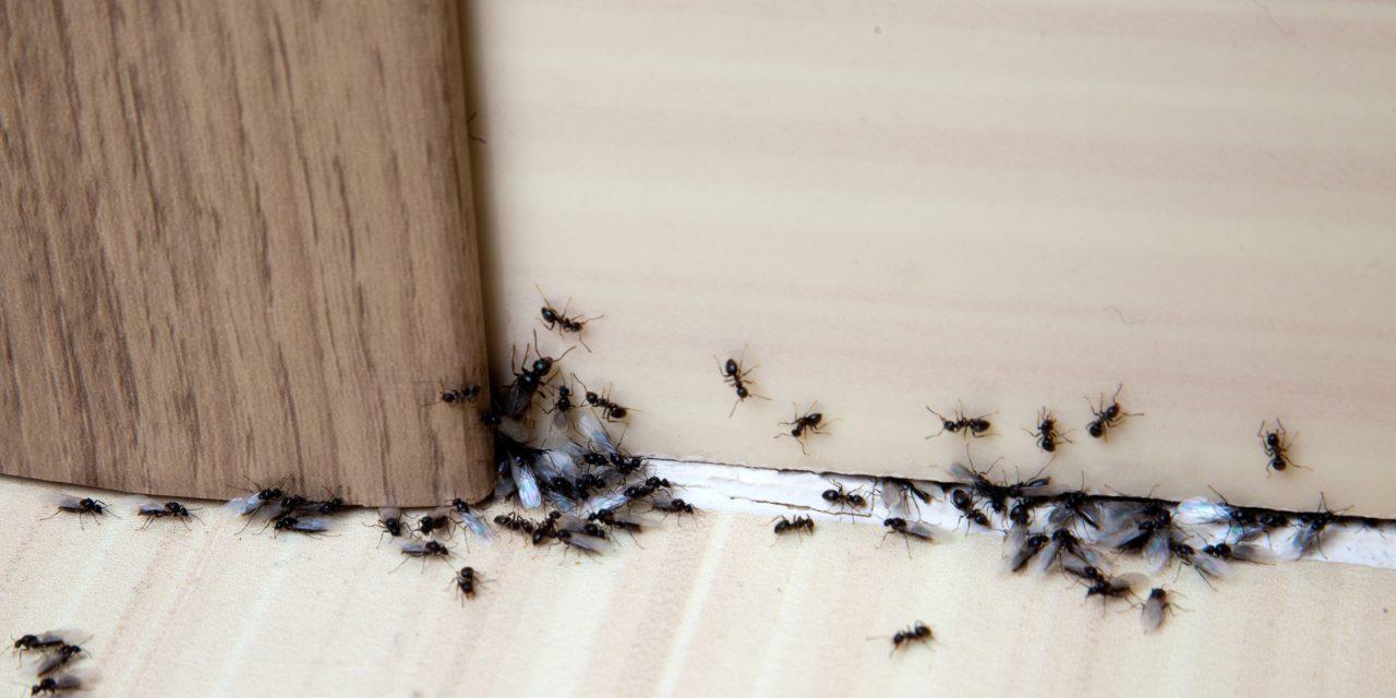 Így szabadulhatsz meg a hangyáidtól