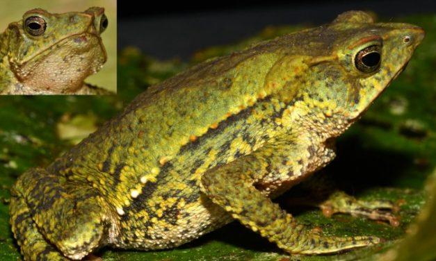 Eddig nem látott varangyfajt fedeztek fel Peruban