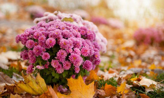 Íme a legszínpompásabb ősszel nyíló virágok – Te melyiket ülteted?