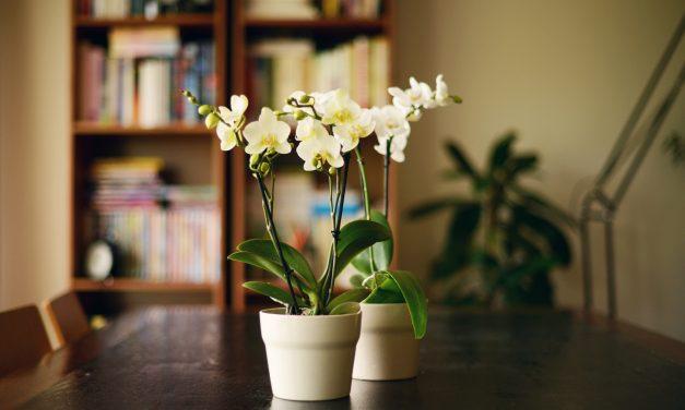 Zseniális trükk – öntözd így az orchideát, és sokkal tovább virágzik majd